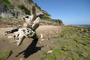 Fallen Tree at Luccombe beach