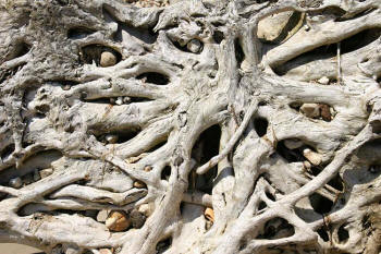 Sea weathered tree root